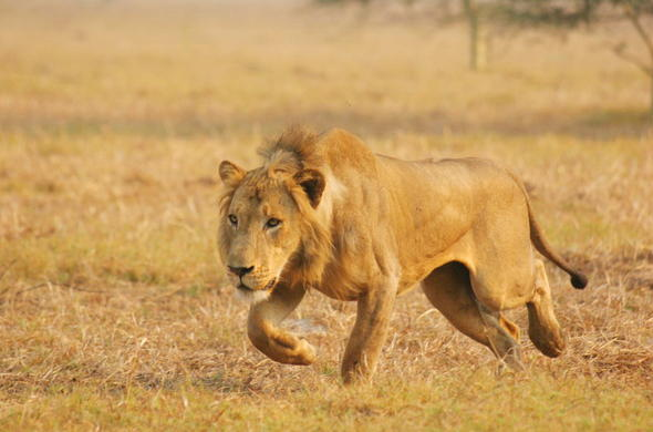 Lion in Gorongosa National Park.