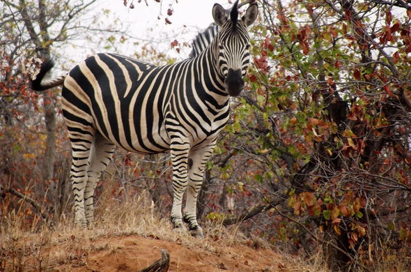 Zebra in Limpopo National Park.