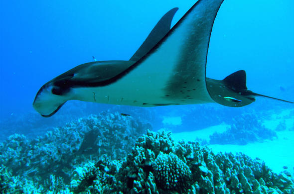 Whale Sharks And Manta Rays Of Mozambique