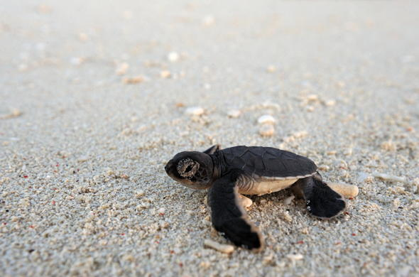 Mozambique Eco-Tourism - baby turtle on the beach.
